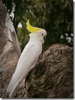 A Cockatoo, not an uncommon sight